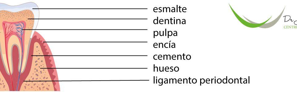 Partes de los dientes. Centros Clínicos Dentales Dr.Jesús Caballero